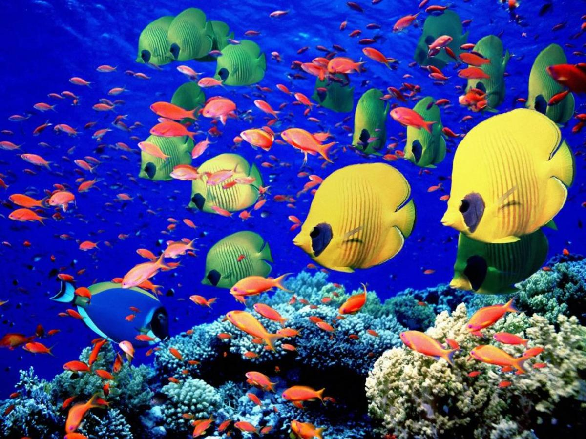 Beautiful colorful fish swim in the coral reefs of the Red Sea