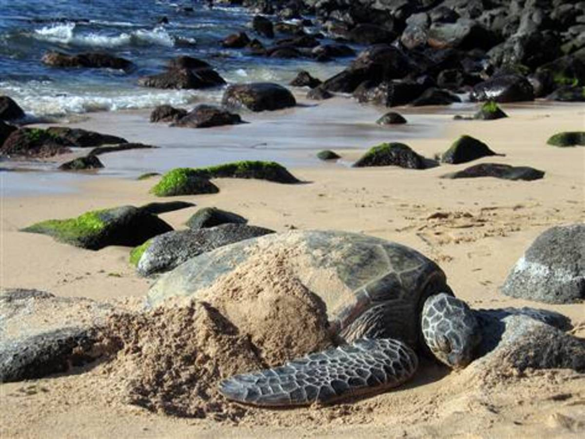 Turtle Beach - also known as Laniakea