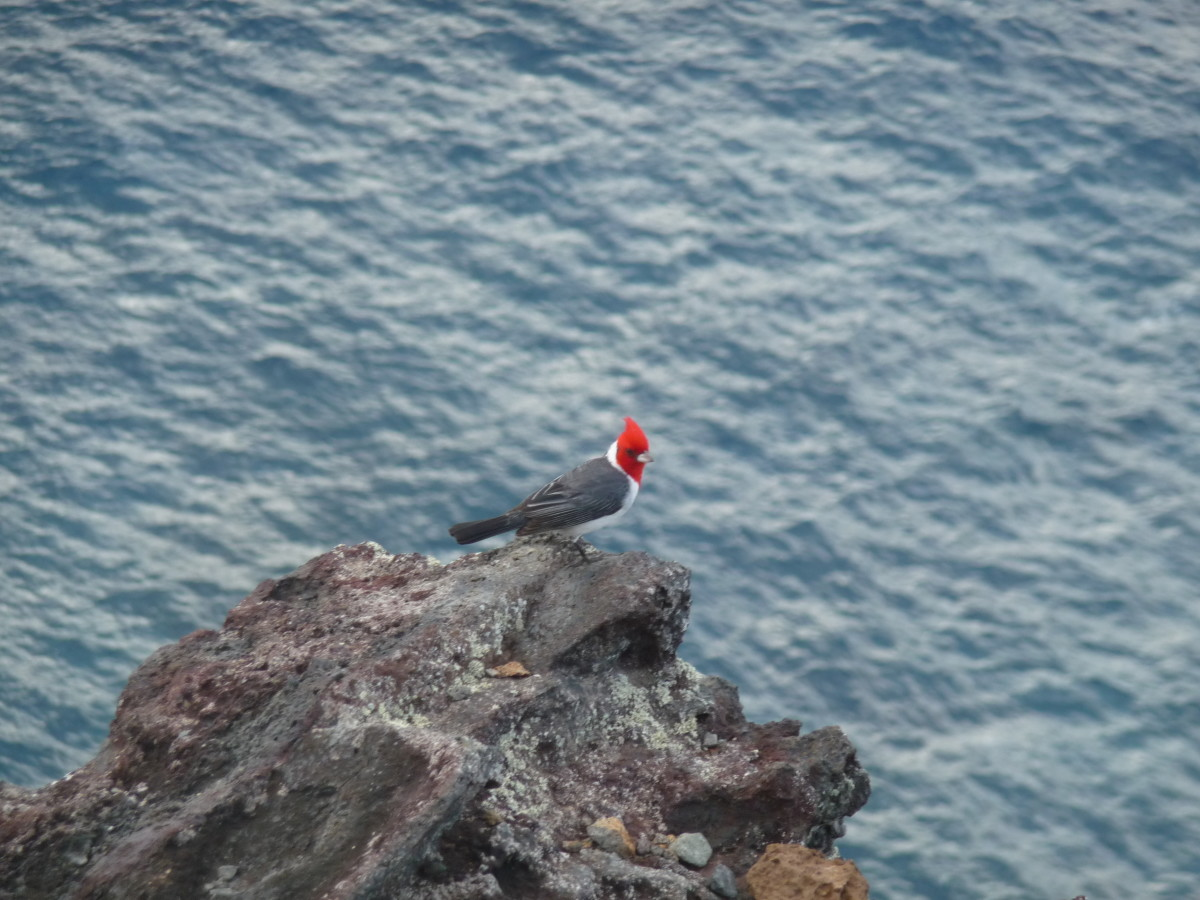 A friendly red-crested cardinal at Makapu'u Point