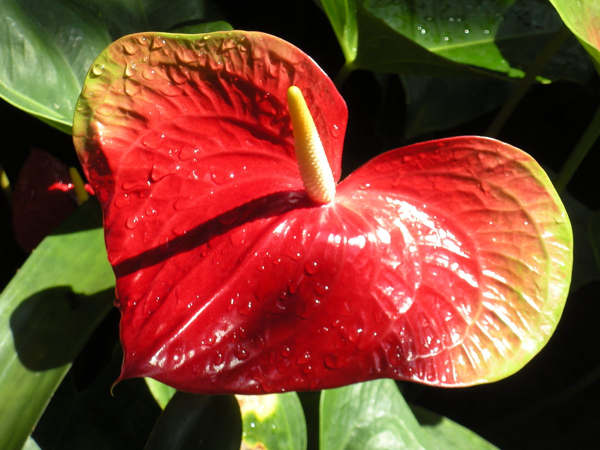 I believe this is a red anthurium flower.  I love that it is heart shaped.