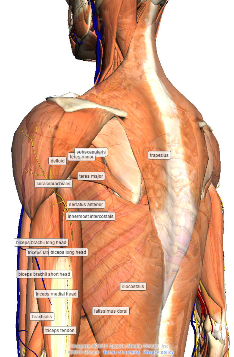 The human body with 3D anatomy software