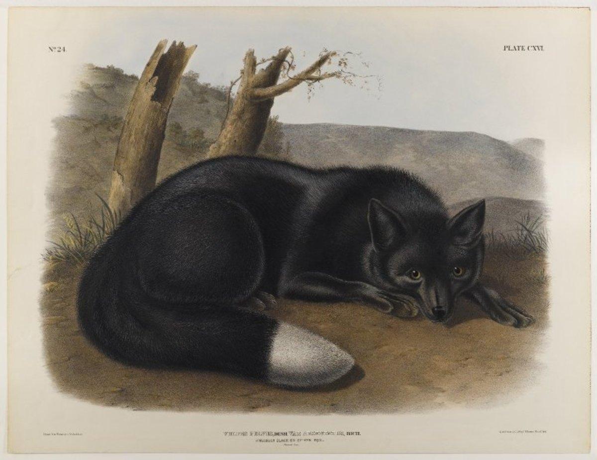 American Black or Silver Fox by John J. Audubon