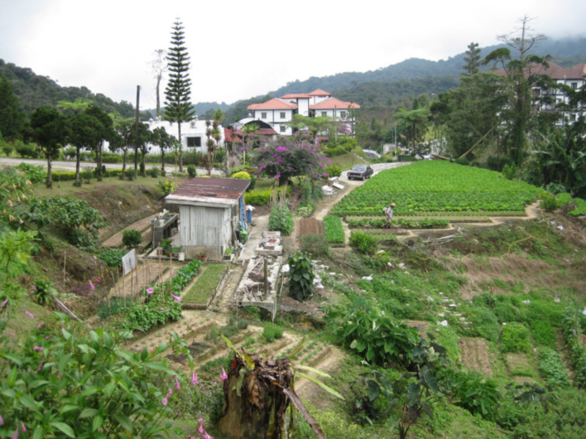 A local market garden worked by hand in Tanah Rata, Cameron Highlands.