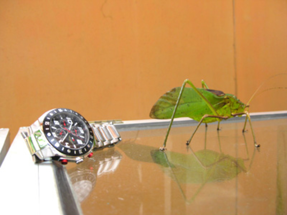This big grasshopper was placed next to a tourist's watch so we could take a photo of the size by comparison.