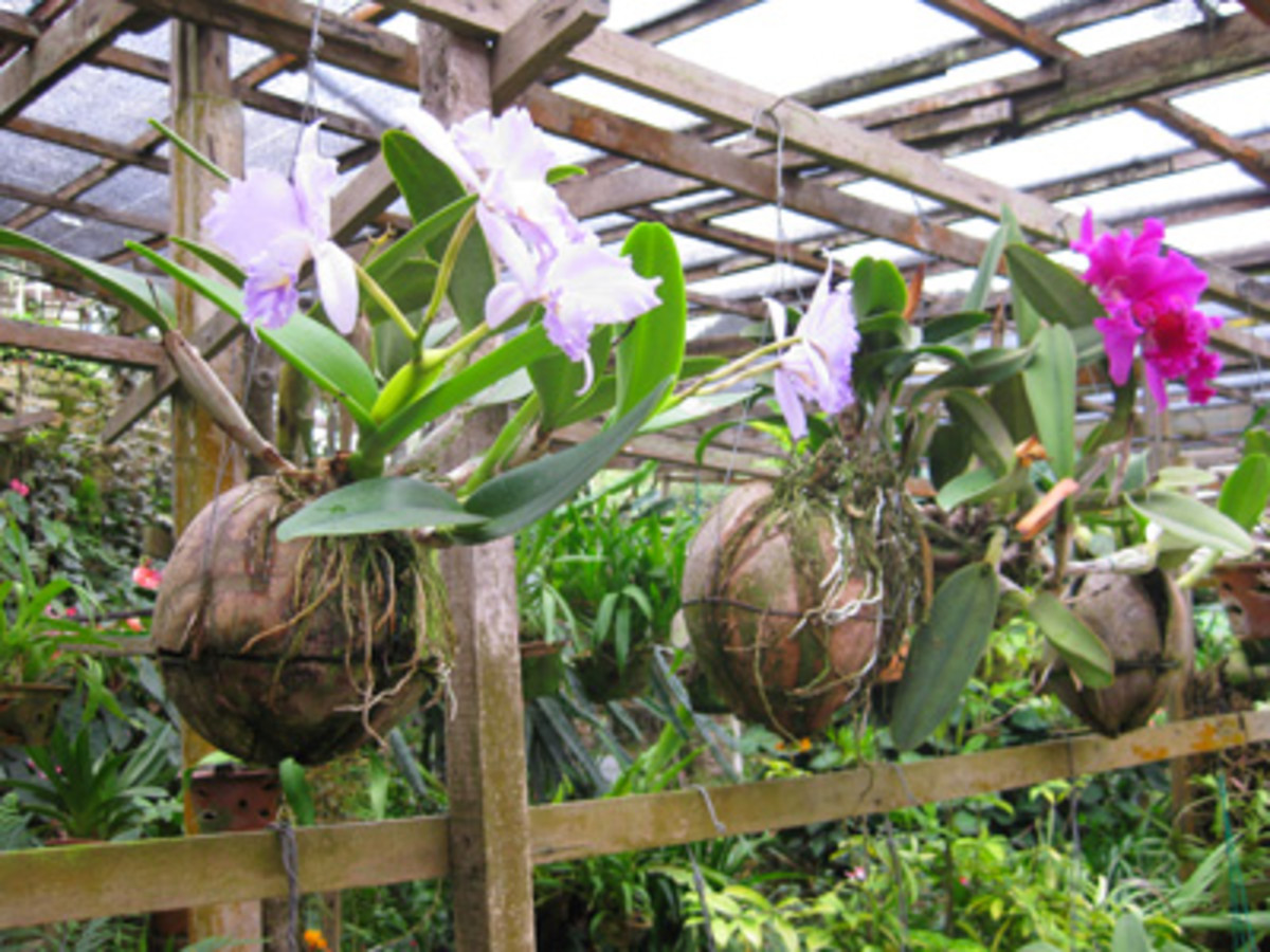 Quite a novelty: Coconut pots that use similar growing methods to those of the hydroponic strawberry farms.