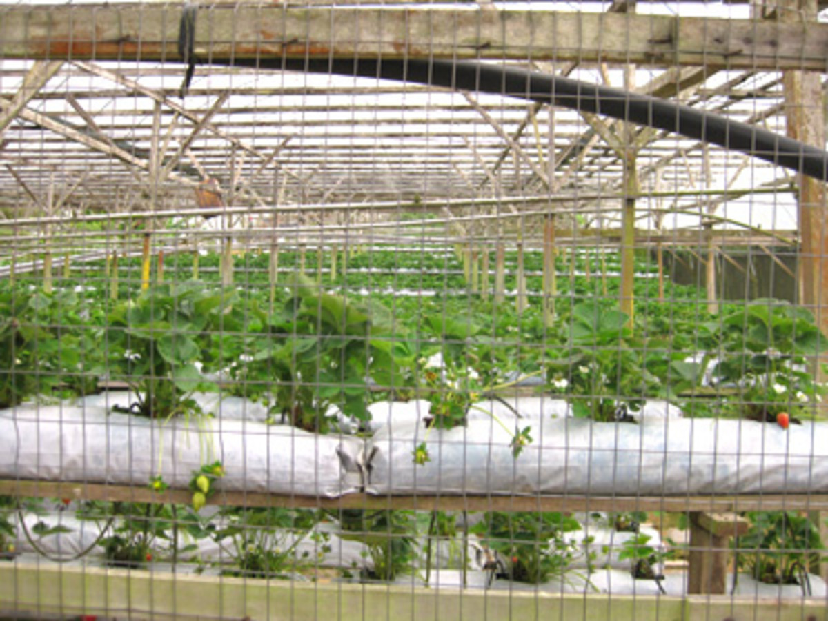 Thousands of strawberries are grown at this farm for local consumption.