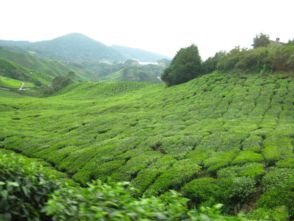 Once upon a time, every bush in this tea plantation was sown, clipped and harvested by  workers who lived at the Boh Tea Plantation.
