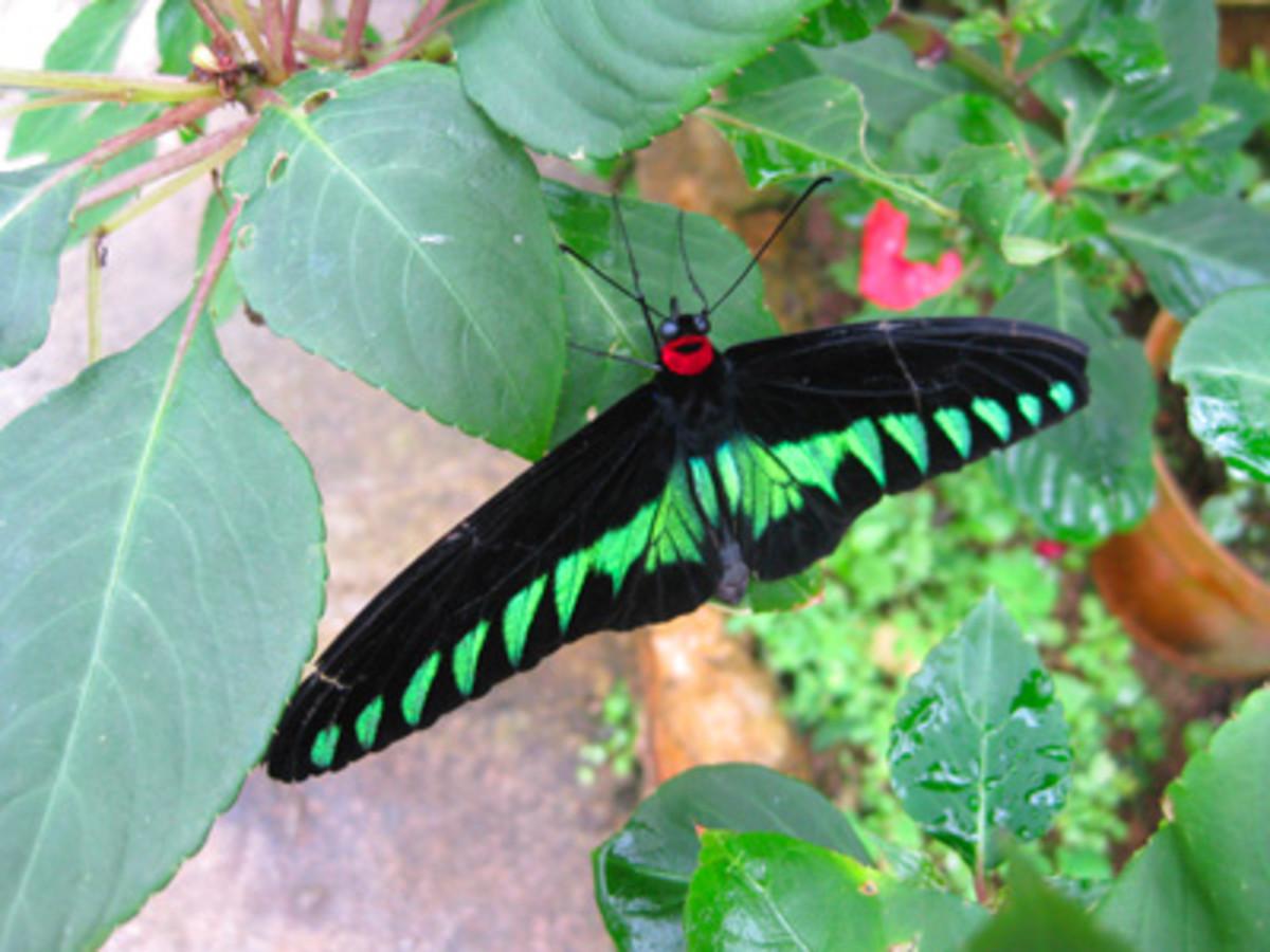 The Trogonoptera brookiana native Malaysian butterfly.