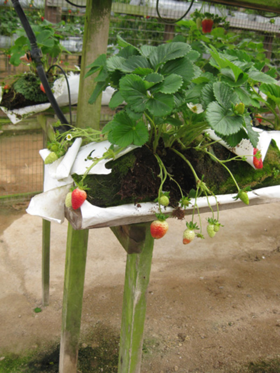 Hydroponic strawberry growing - a good way to reduce the use of pesticides.