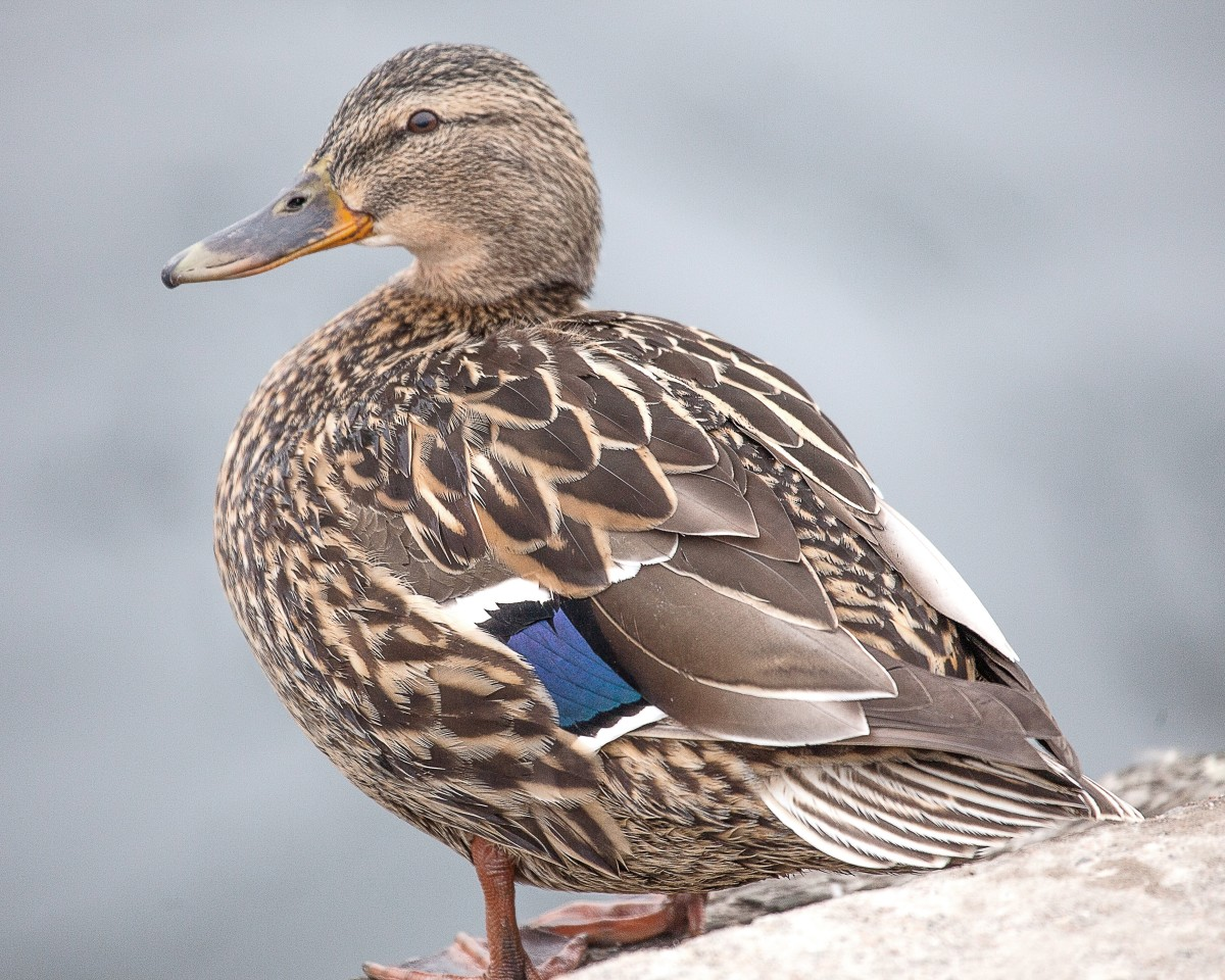 A female mallard duck.