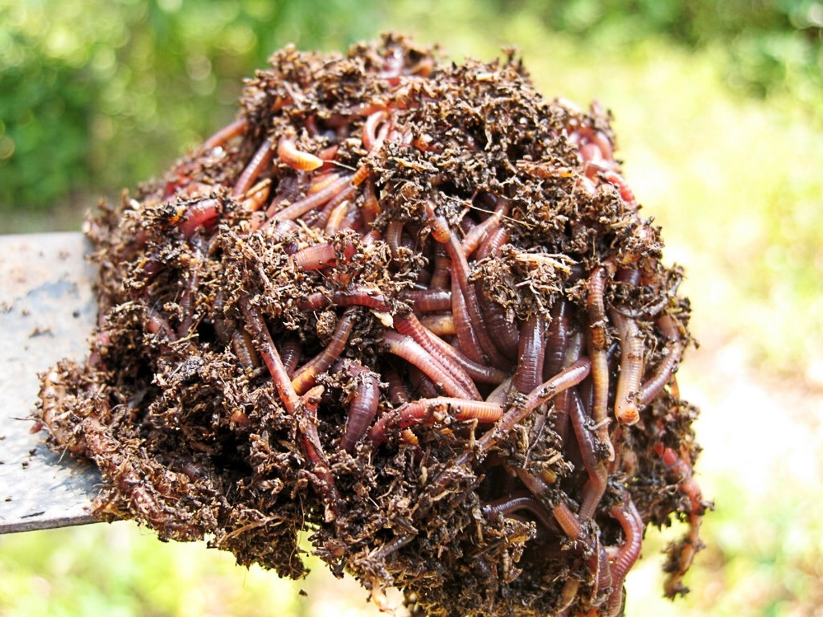 These earthworms are ready to put in the soil. The worms are good for gardens.
