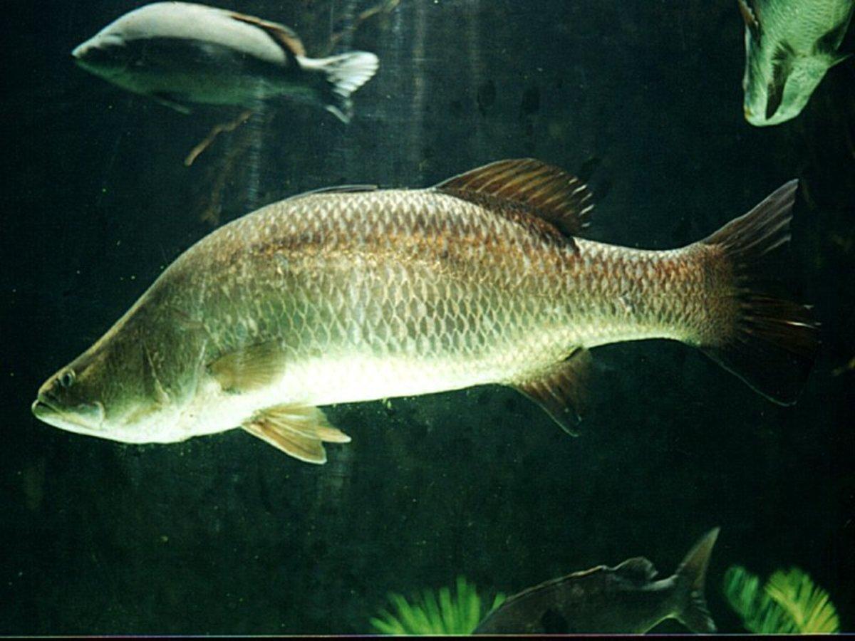 Barramundi is a delicious mercury free fish.