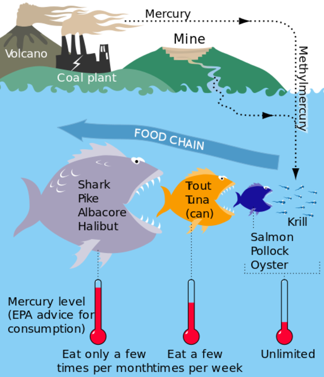 Through the process of biomagnification, mercury levels in each successive predatory stage increase.
