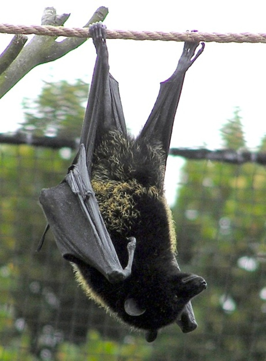 Fruit Bat - Interesting Facts