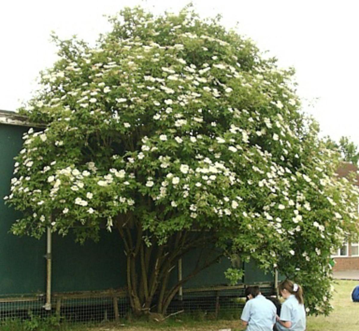 Elderflower tree