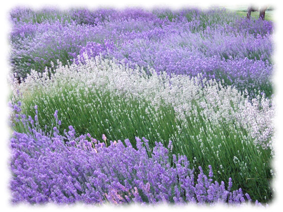 Purple and white lavender