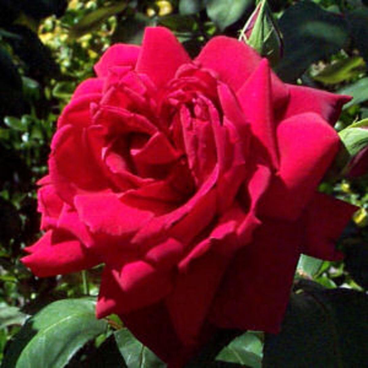 Oklahoma rose