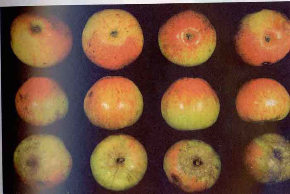 Kermerrian apples