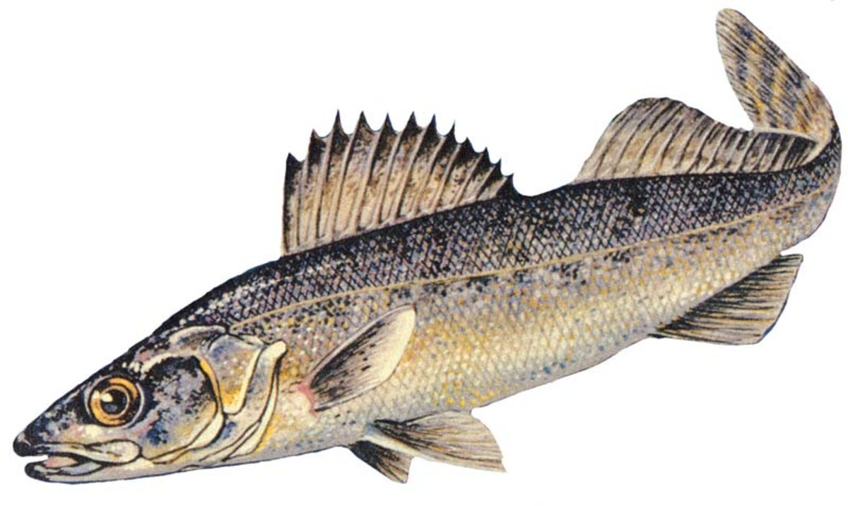 Blue Walleye