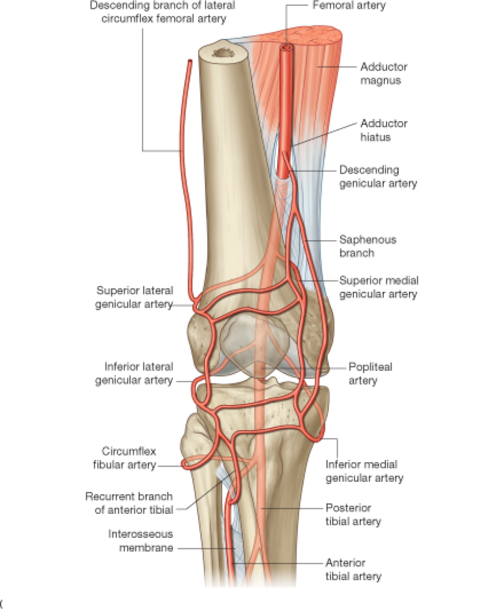 Anatomy of knee muscles