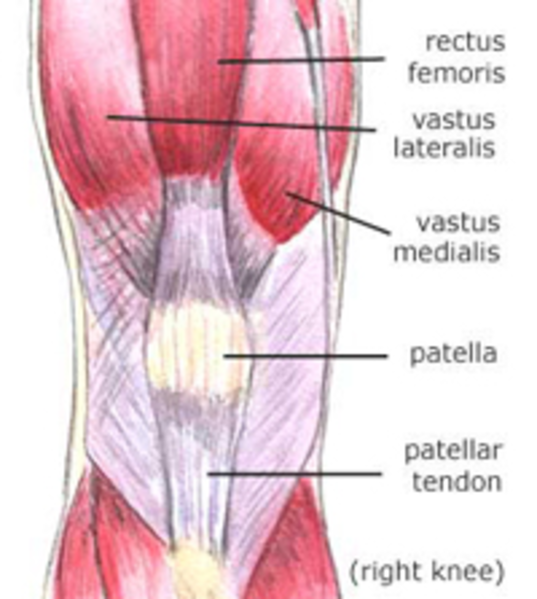 Fig. 3. Posterior (left) and Anterior (right) view of the knee muscles