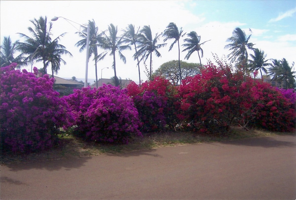 Bougainville bushes along the Mokulele Highway, Kihei, Maui, Hawaii.  Soon after I took this photo, construction began in the  area.  All of the bushes and palm trees in this photo are now gone.
