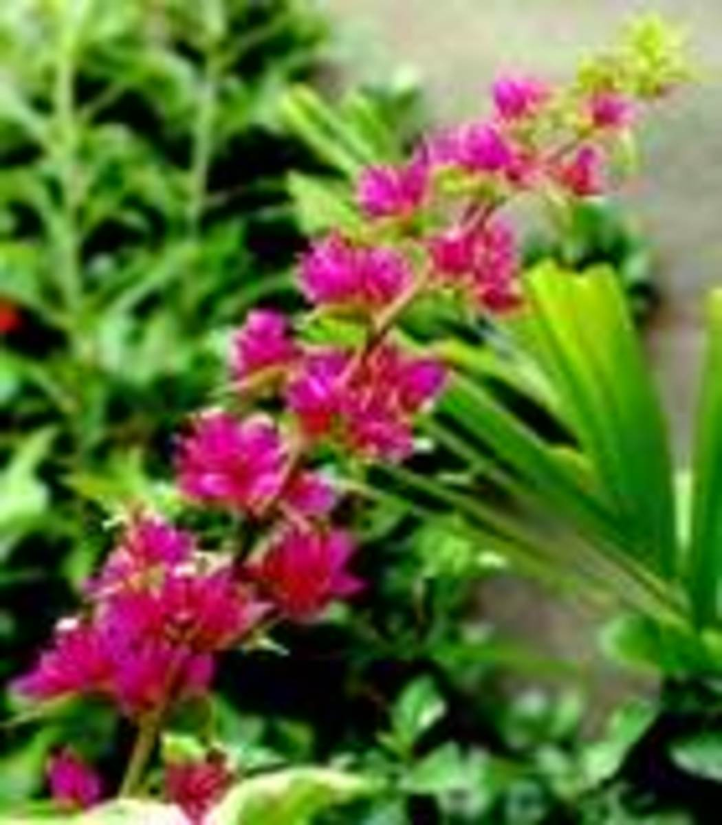 bougainvillea-bouganvilla-bougainville-by-any-other-name