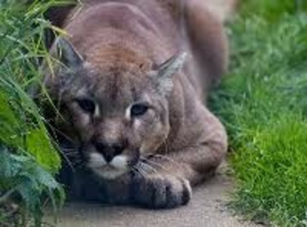 Ready to pounce on unsuspecting prey,  this cougar is focused and fierce.