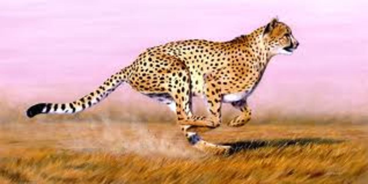 Cheetahs have a spring loaded body for an extra burst of speed when hunting game.