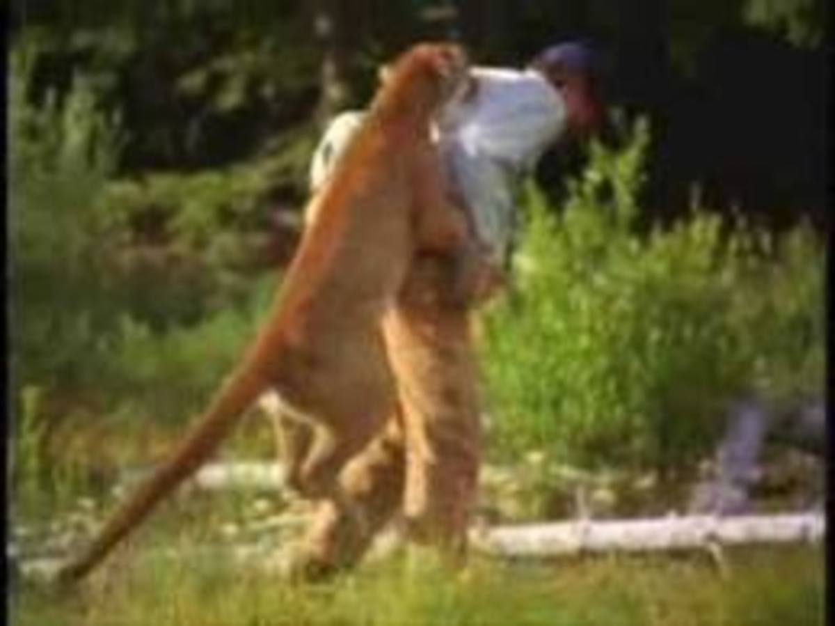 Cougar attacks an on-location film crew member from behind.
