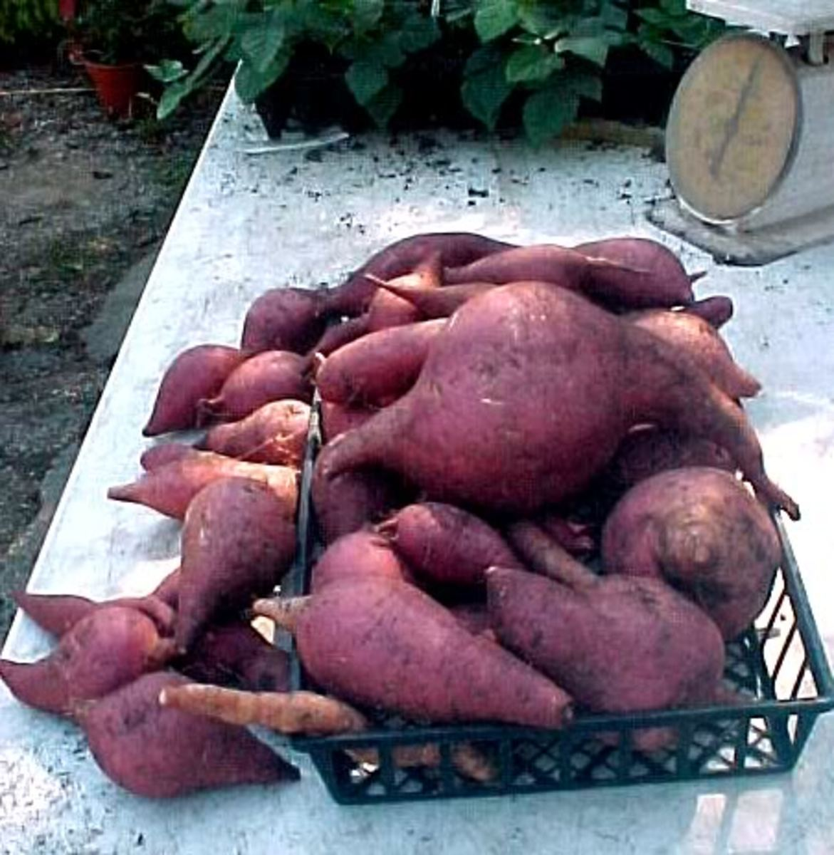 SweetpotatoDiane By DuckCreekFarms, source Photobucket