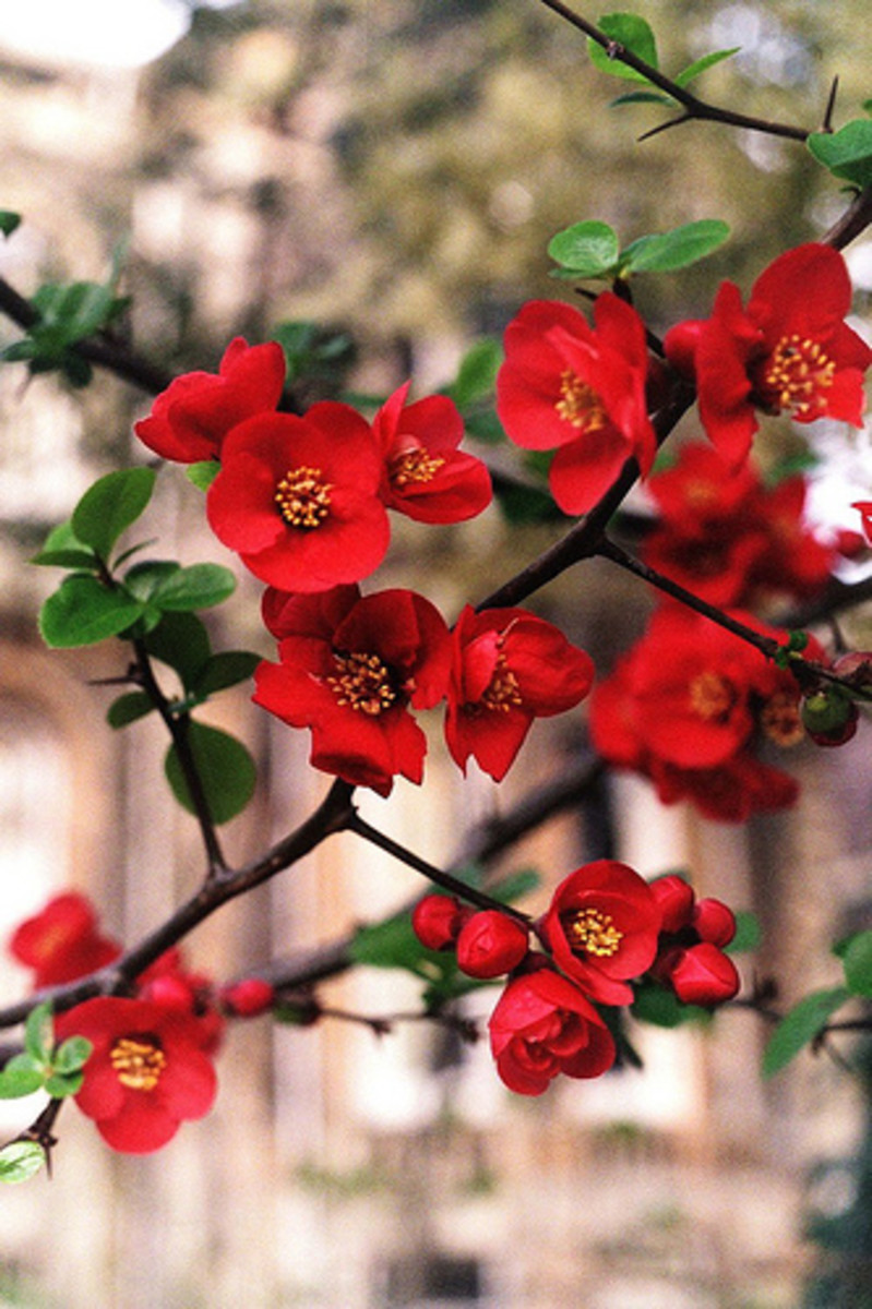 Japonica flowers very early on in spring and can have red, pink or white flowers. It is a much-loved flower in Japanese art hence the name.