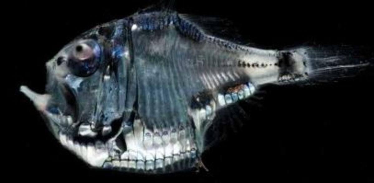Hatchetfish: Freshwater (Common, Silver, Marbled) Hatchet Fishes & Deep Sea Hatchetfishes