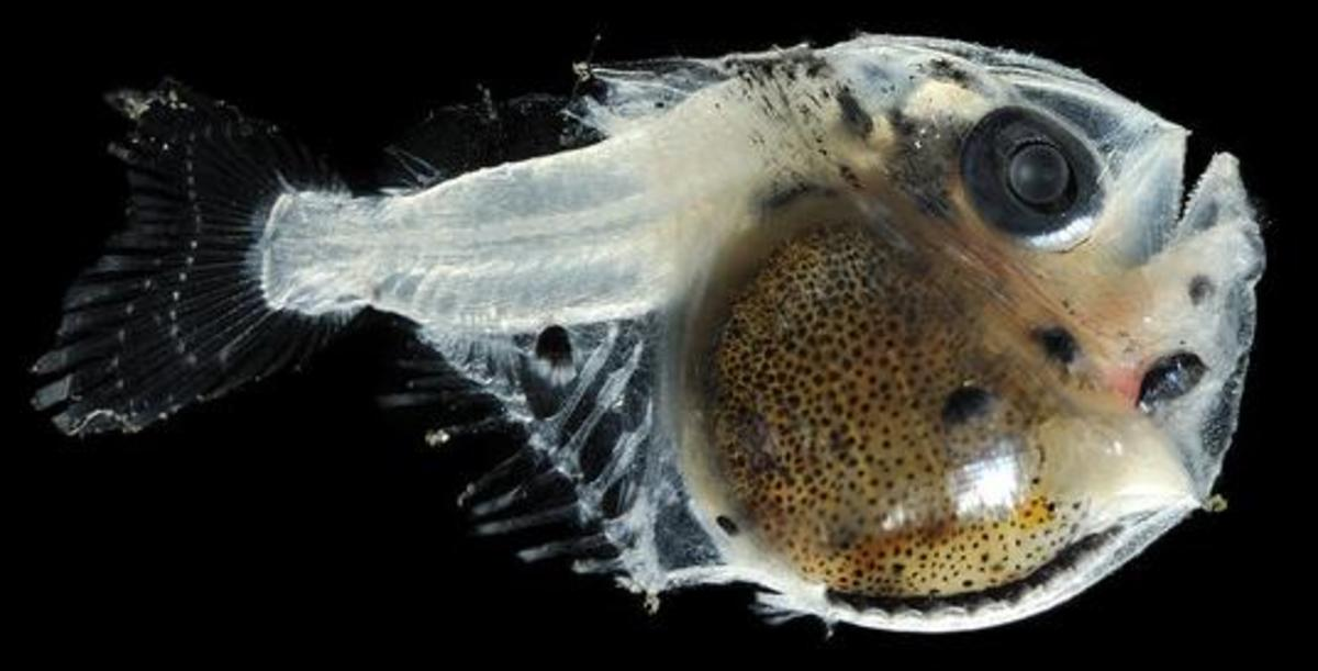 Juvenile Deep Sea Hatchetfish