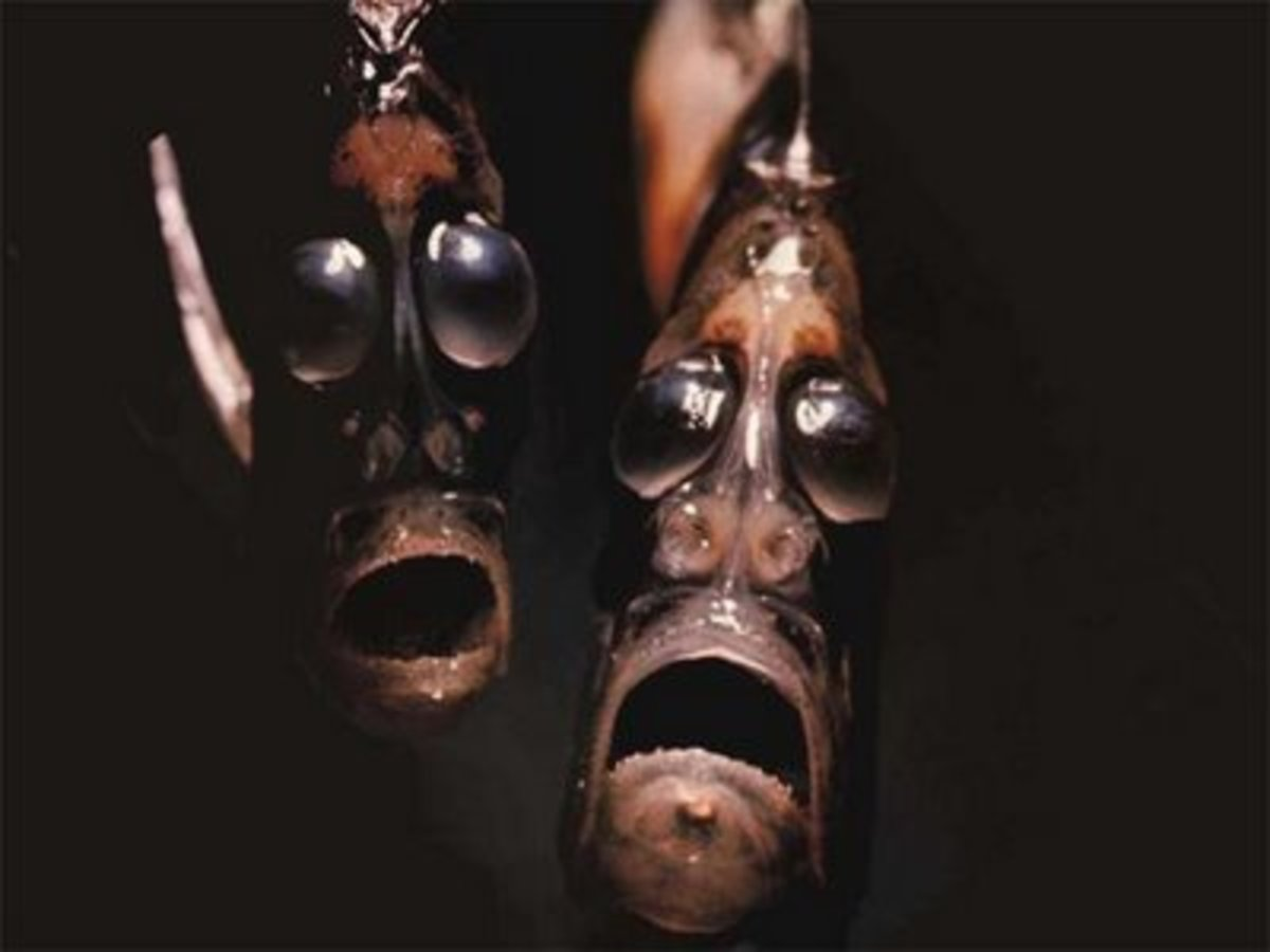 Deep Sea (Marine) Hatchet Fishes