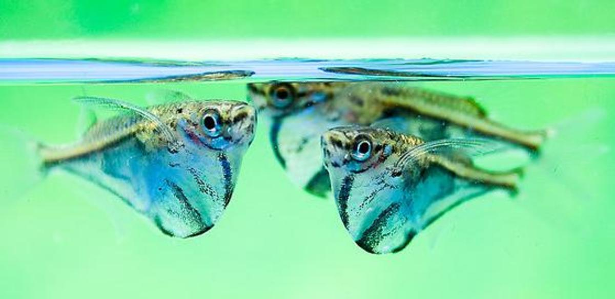 """Marbled Hatchetfish (""""butterfly fish"""" in portuguese)"""