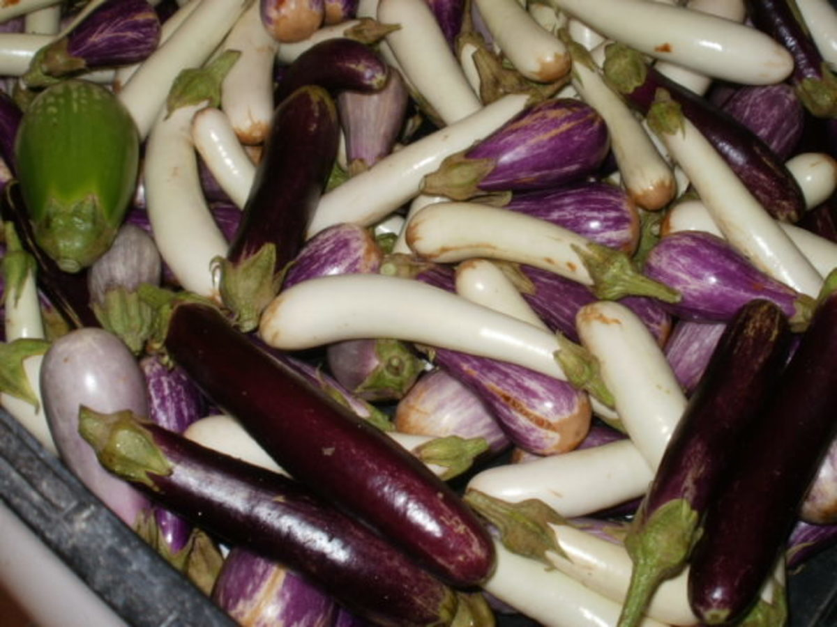 Baby egglplants from The Farm at Rockledge.  Aren't they cute?