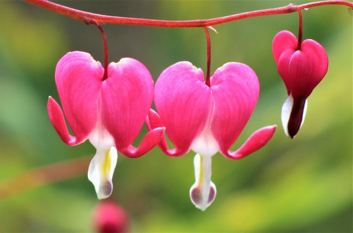 the-bleeding-heart-1