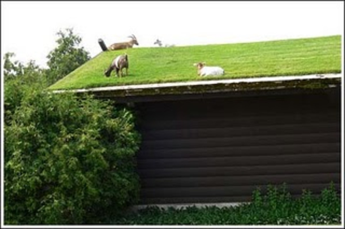 Rooftop design for goat grazing