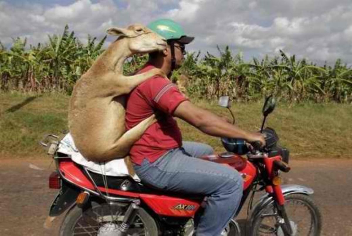 Funny goat on motorbike