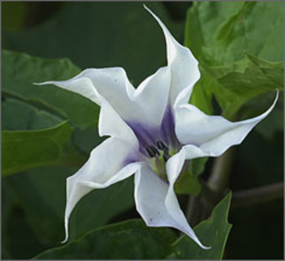 Poisonous and Hallucinogenic Plants -Datura Stramonium  (Jimson Weed)