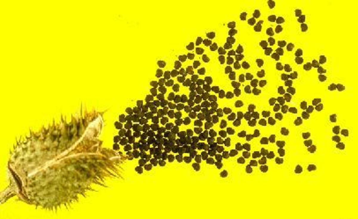 Jimson weed seeds