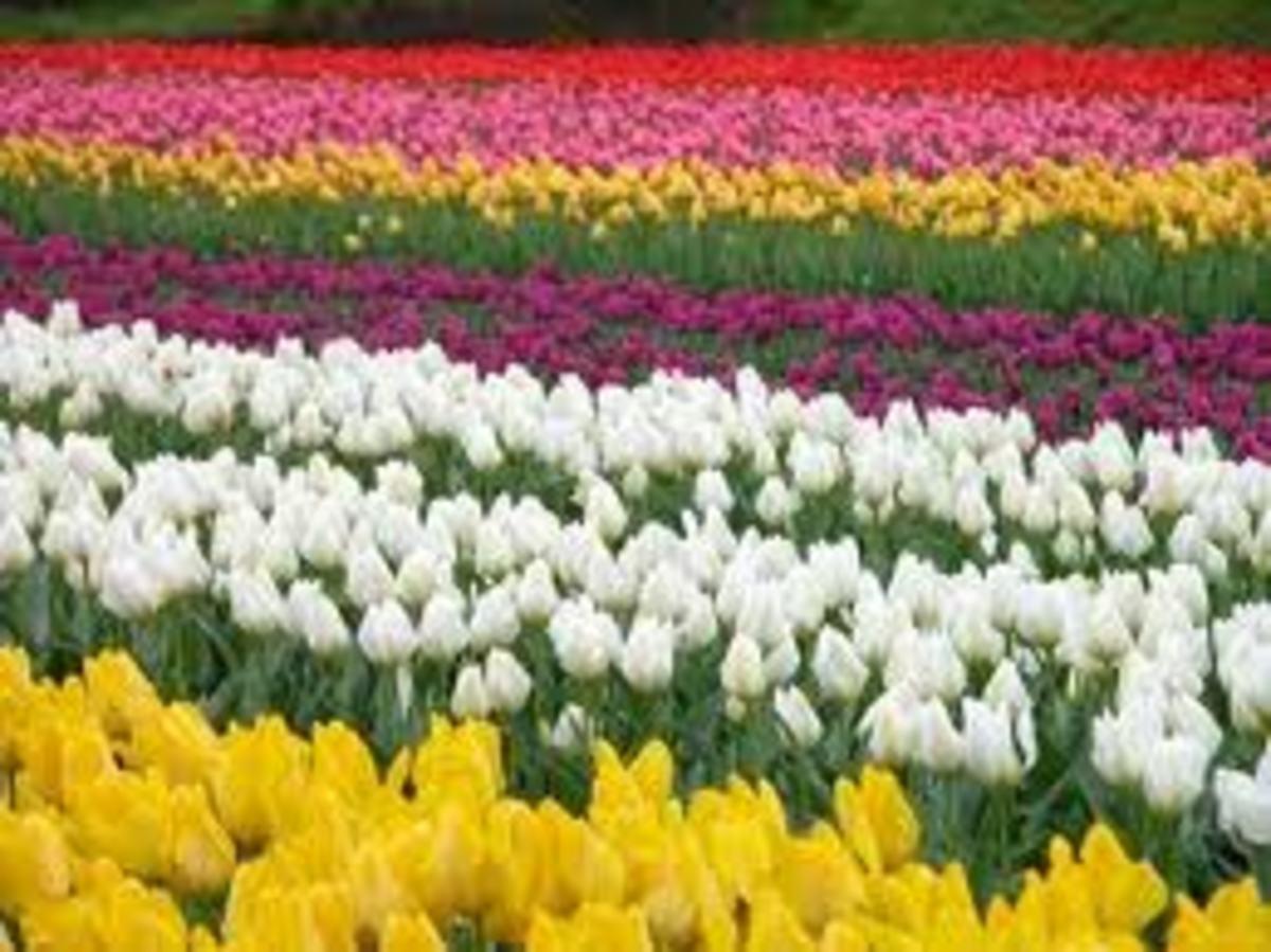 Holland Tulip flowers
