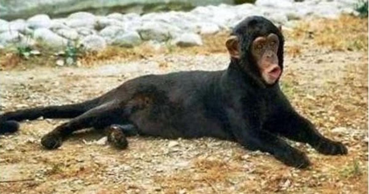 Moncanine - monkeyus cannis or dog monkey
