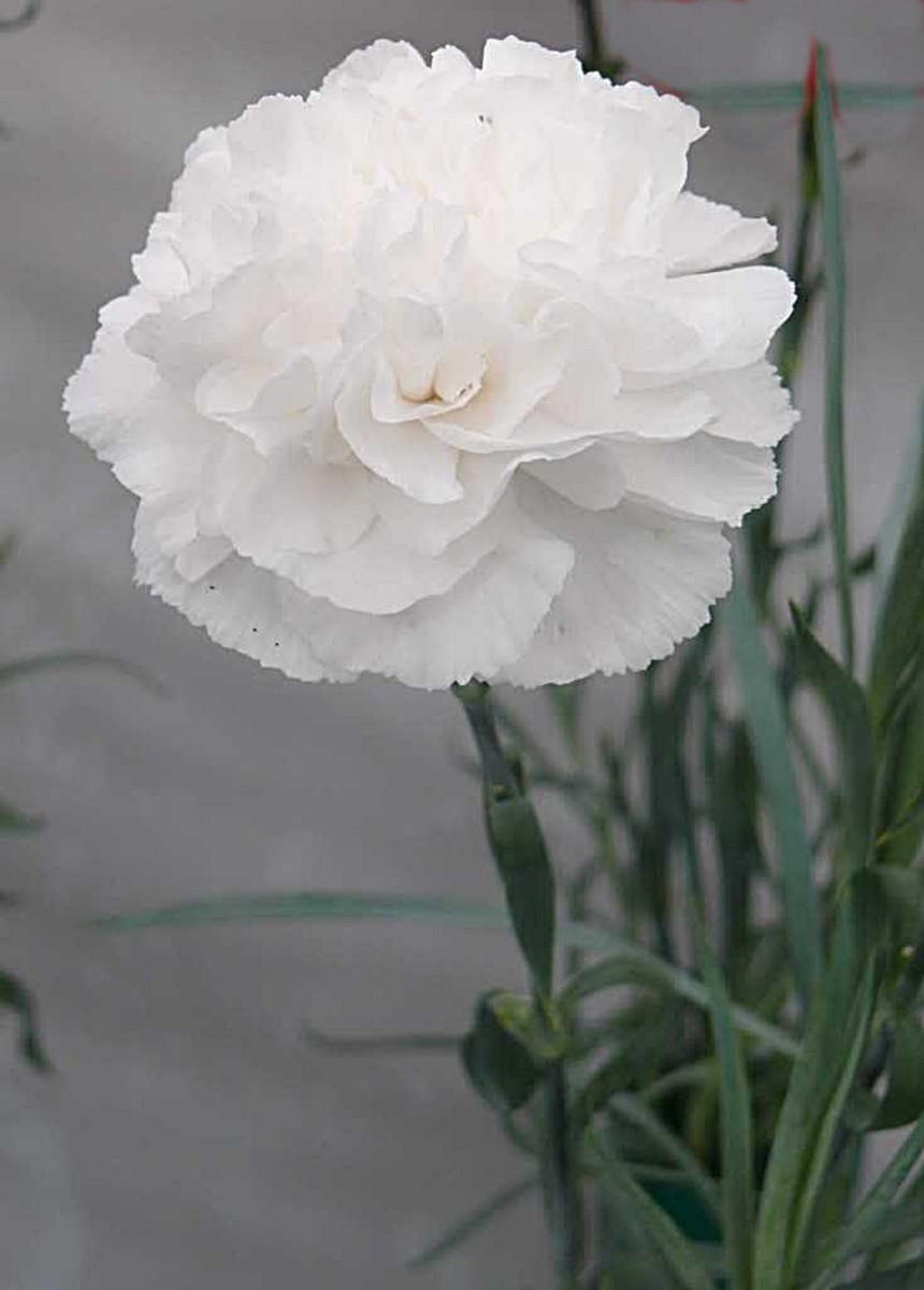 White Carnation By tgalmanac, source photobucket - When is Mothers Day?