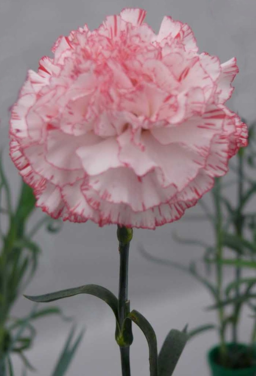 Pink Carnation By tgalmanac, source photobucket - When is Mothers Day?