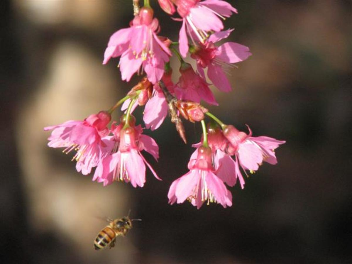 Honey Bees and Taiwan Cherry tree blossoms appear in late January.