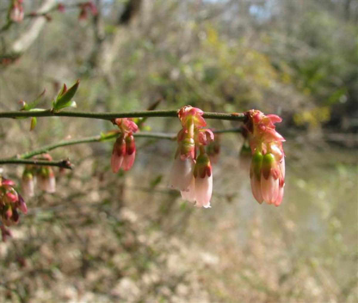 Vaccinium (also called Huckleberry) flowers are quite lovely.