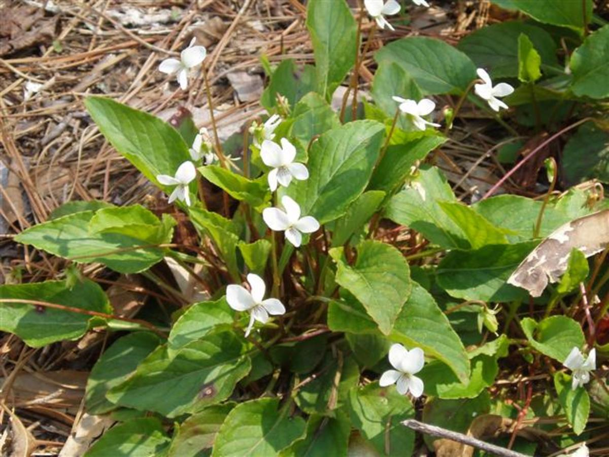 White violets begin to bloom in January and continue through April.
