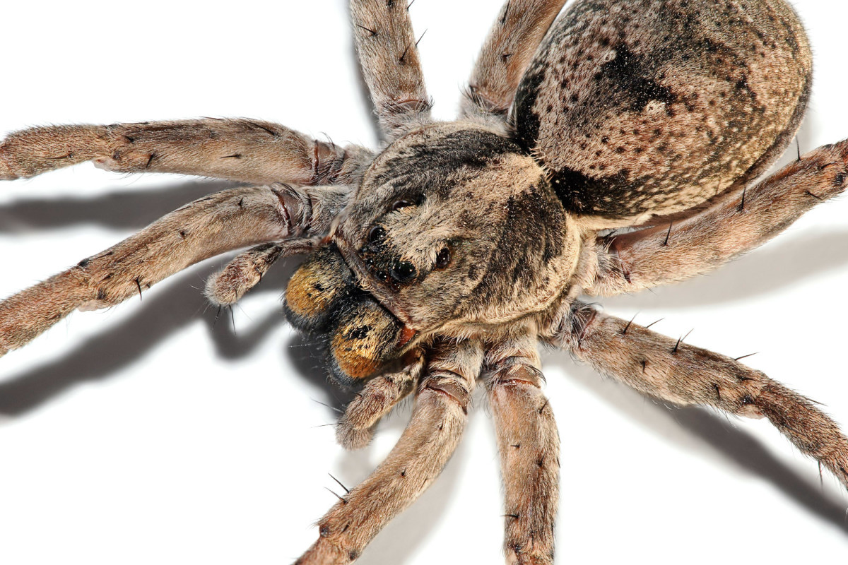 Home Remedies To Keep Spiders Out Of The House